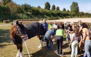 Shire Horse BZS 2016